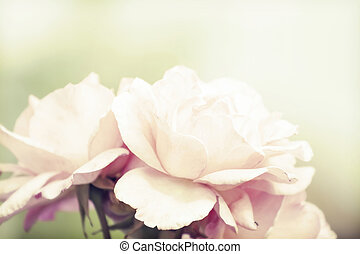Pink rose with soft focus