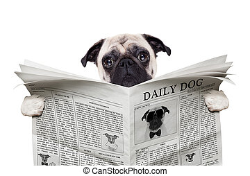 dog newspaper - pug dog reading a the news on the newspaper,...