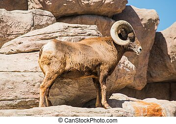 Bighorn Sheep on the Rocks - Bighorn Sheep Climbing on the...