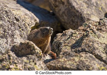 Marmot on the Rock. Colorado Rocky Mountains Marmot....