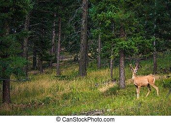 Young Colorado Elk