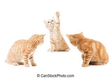 group of little Ginger british shorthair cats over white...
