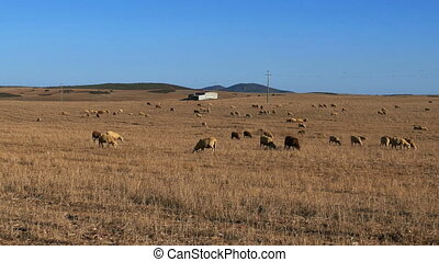 Flock of Sheep Grazing on Fields Alentejo, Portugal