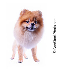 pomeranian puppy dog grooming lion design isolated on white...
