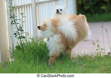 cute pet, pomeranian dog peeing on grass in the garden