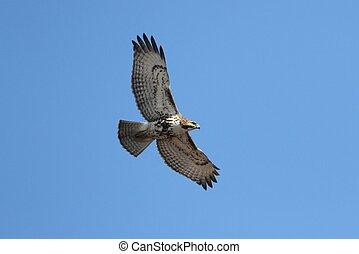 vermelho-red-tailed, falcão, soaring