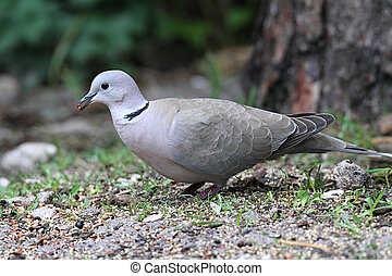 Eurasian Collared-Dove Streptopelia decaocto on the ground