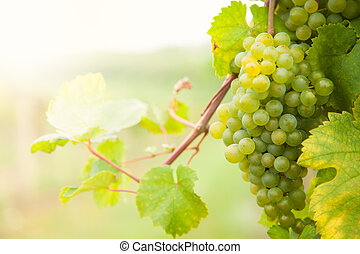 White wine grapes on vineyard - Macro photo of white wine...