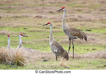 Sandhill Crane Grus canadensis at sunrise in Florida