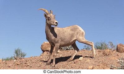 Young Desert Bighorn Ram - a young desert bighorn sheep ram