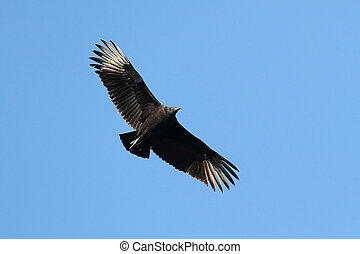 Black Vulture In Flight - Black Vulture Coragyps atratus in...