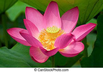 Lotus flower - Close up of blooming lotus flower over leaves