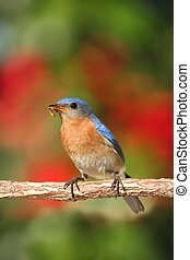 Eastern Bluebird (Sialia sialis) on a perch with flowers