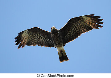 Endangered Female Snail Kite
