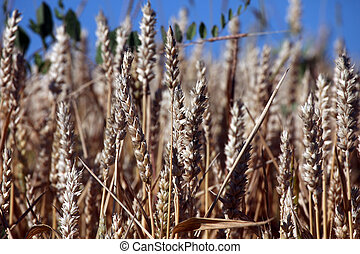 Wheat growing in field