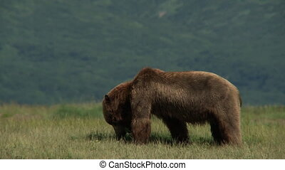Grizzly Bear Ursus arctos horr - Grizzly Bear Ursus arctos...