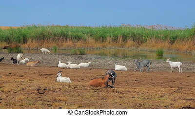 Herd Of Goats Resting At Nature