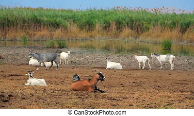 Herd Of Goats Rests At Nature - Herd of goats piecefully...