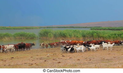 Group of Goats And Cows Near Watering Place - Group of goats...