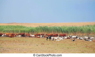 Herd Of Goats And Cows Grazing At Nature
