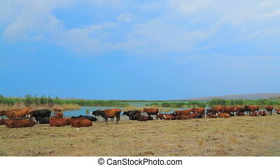 Big Herd Of Cows Resting At Nature