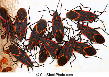 Boxelder Bugs (Boisea trivittata) often gather in large...