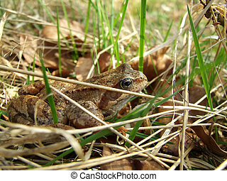 Skipper frog in grass