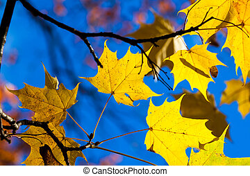 Autumn yellow maple leaves - tree details