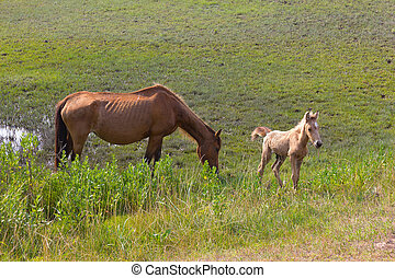 salvaje, caballos, Un, yegua, Potro