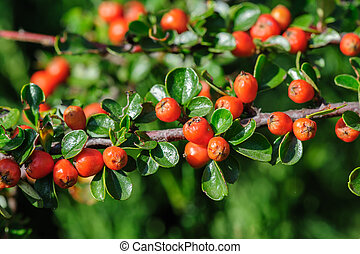 Cotoneaster Bush - Red berries of Cotoneaster bush, closeup,...