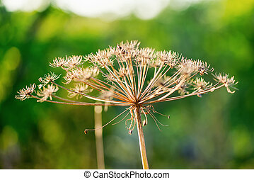 Cow parsley flower during autumn with small focus but nice...