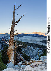 Dead Mountain Pine Tree