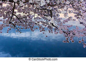 Cherry trees in blossom - Cherry trees in full blossom at...