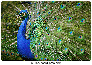 Colorful peacock background