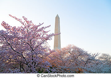 Cherry blossom in Washington DC - Blossom of cherry trees...