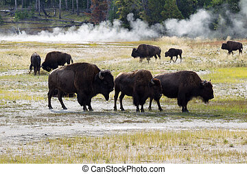 Family of North American Buffalo near the hot springs in Yellows