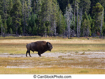 Senior North Amercian Bull Buffalo - Side view of a single...