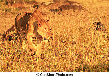 Masai Mara Lion - A lion (Panthera leo) on the Maasai Mara...