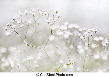 Small Defocused White Flowers (Gypsophila) as Natural...