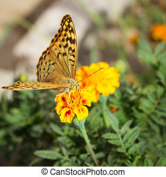 Argynnis paphia butterfly on the flower