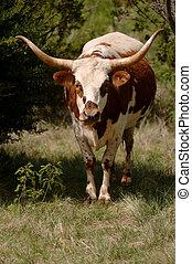 longhorn - Longhorn beef cattle