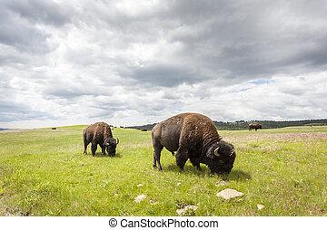 beau, buffles, Yellowstone, national, Parc