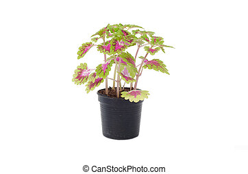 Coleus in a pot isolated on white background in a black tray