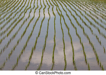 Rice fields, began to grow in the countryside