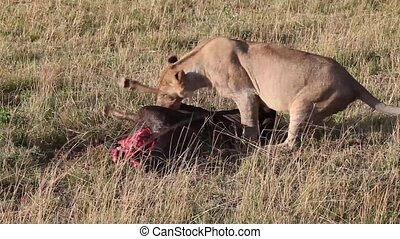 lion eating a dead wildebeest