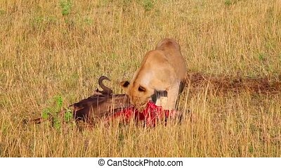 Successful hunting pride of lions. Wildebeest for breakfast.