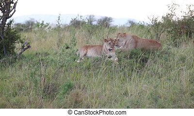 Young lion cubs sitting in the grass. Evening....