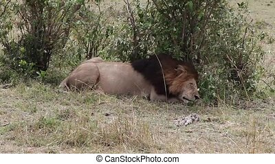 Lion sleeps in the shade of a tree.