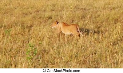 Lioness sneaks into the tall grass to the wildebeests