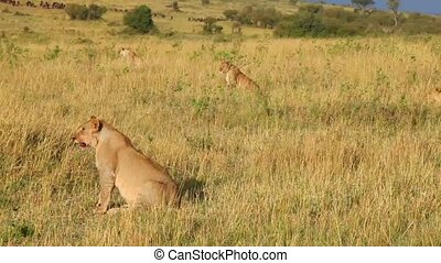 Four lionesses are preparing for an attack on the wildebeest...
